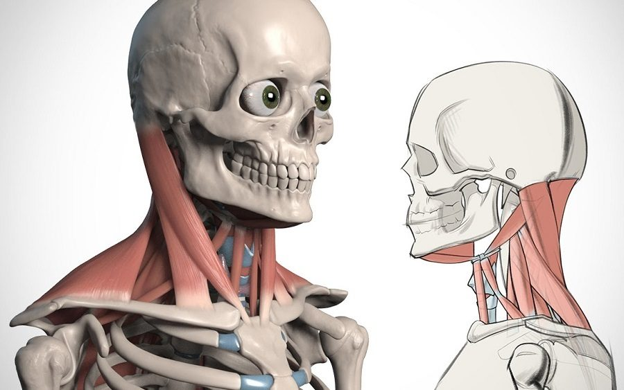 Everything You Should Know About Neck Anatomy