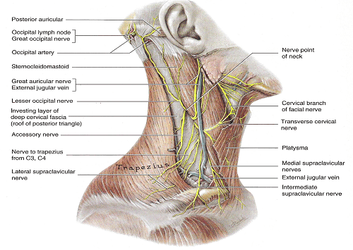 Illustration Of Neck Nerves